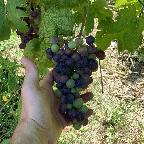 foto di uva vermentino nero non ancora matura - Colli di Luni