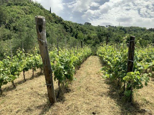 Azienda agricola La Maestà - Colli di Luni - vini - vigneto - Fugastro