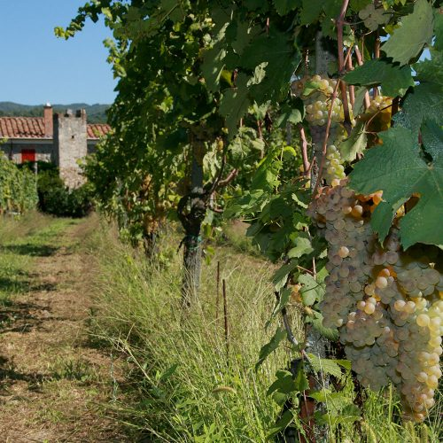 Grappolo maturo di uva vermentino nei vigneti di Tenuta La Ghiaia, nei Colli di Luni